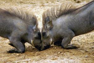 Warthogs Fighting